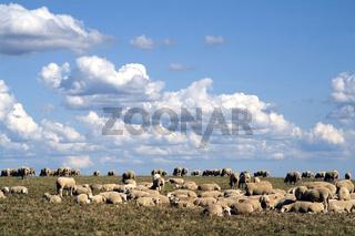 Schafe, Plateau Valensole, Provence, Frankreich