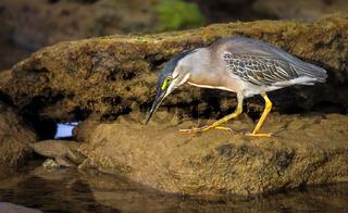 Mangrovereiher beim Fischen an der Küste Bahias Brasilien