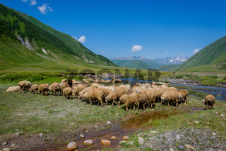 Sheeps in Truso valley, Georgia