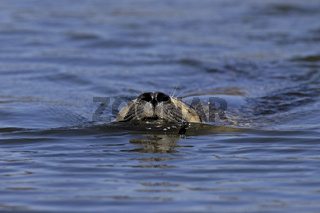 Seehund, Phoca vitulina, common seal