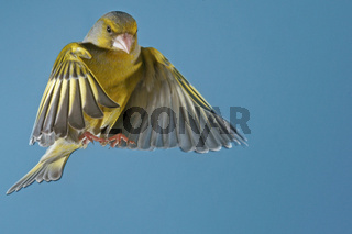 Gruenfink, Carduelis chloris, European greenfinch