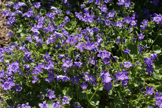 Campanula portenschlagiana, Glockenblume