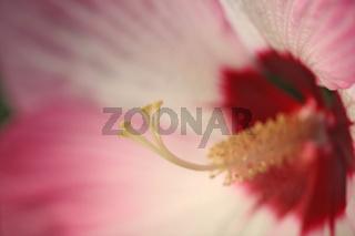 Hibiskus, rosa, Bluete, Hibiscus syriacus, Rose of Sharon, blossom
