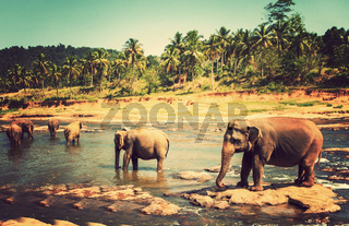 family Asia Elephant bath in river Ceylon