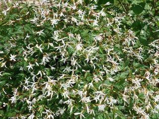Gillenia trifoliata, Dreiblattspiere