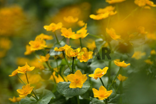 Sumpfdotter-Blume, Caltha palustris, Kingcup, Marsh marigold