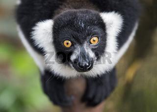 Schwarzweißer Vari (Lemur varecia variegata), Ankanin Ny Nofy, Madagaskar