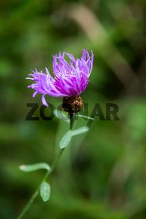 Kornblume, violett, Hintergrund