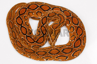 Russell's viper, Daboia russelii, Bangalore, Karnataka. Monotypicgenus ofvenomousOld Worldvipers