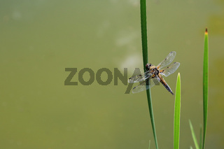 Vierflecklibelle, Four spotted chaser, Libellula quadrimaculata
