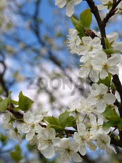 flowers plum