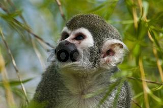 Totenkopf-Aeffchen, Saimiri sciureus / Common Squirrel Monkey, Portrait
