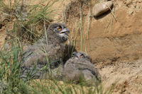 young chicks... Eurasian Eagle Owl *Bubo bubo*, owlets hiding over day behind some grass
