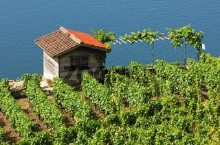 Weinbergen bei Corseaux über dem Genfersee,Schweiz