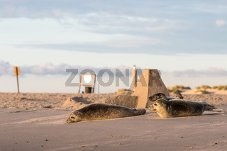 three Harbour seals, Phoca vitulina, resting on the beach. Early morning at Grenen, Denmark