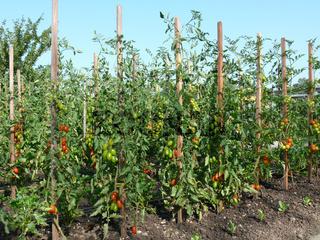 Solanum esculentum, Tomaten, tomatoes