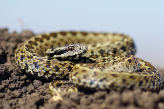 beautiful male meadow viper basking on ground ( Vipera ursinii rakosiensis )