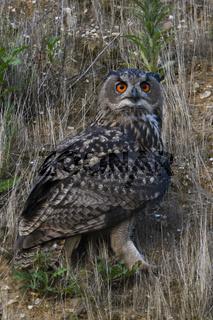 im Hang... Europäischer Uhu *Bubo bubo*, Altvogel bei der Jagd im Hang einer Kiesgrube