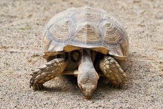 Spornschildkröte