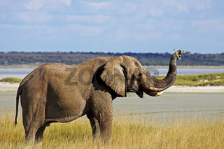 Elefant spritzt Schlamm, Etosha Nationalpark, Namibia; african elephant, Etosha National Park, Namibia
