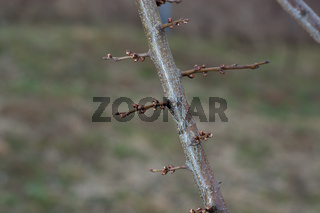 Blossoming apricot buds on twigs in early spring