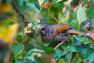 Streaked Laughing Thrush, Trochalopteron lineatum feeding, Ghatgarh, Uttrakhad
