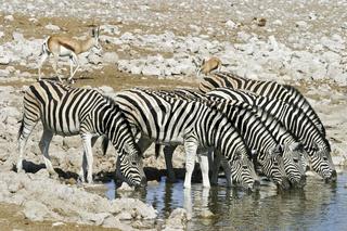 Steppenzebras, Pferdezebras (Equus quagga burchelli), Etosha-Nationalpark, Namibia, Afrika, lains Zebras, Common Zebras or Burchellss Zebras, Etosha NP, Africa