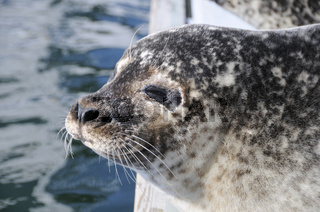 Europaeischer Seehund, Phoca vitulina vitulina, Common Seal, Ostsee, Deutschland, Baltic Sea, Germany