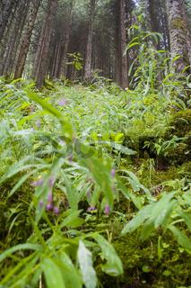 Nadelwald auf einem Steilhang - Coniferous forest on a steep rock slope