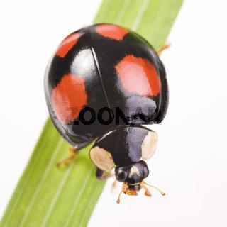 2-Punkt-Marienkäfer (Adalia bipunctata) dunkle Variante - two-spotted lady beetle (Adalia bipunctata) dark version