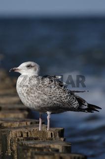 Silbermöwe (Larus argentatus); Herring Gull (Larus argentatus)