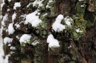 tree bark winter