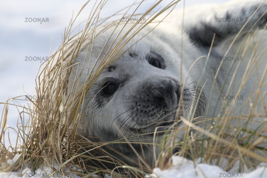 Gray Seal Pup on Helgoland