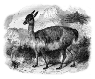 The Vicuna, vintage engraving.