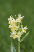 Elder flowered Orchid yellow, Dactylorhiza sambucina, Holunder Knabenkraut