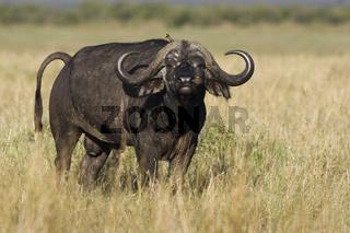 Kaffernbueffel, (Syncerus caffer), African Buffalo