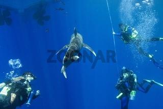 Weißspitzen-Hochseehai (Carcharhinus longimanus)
