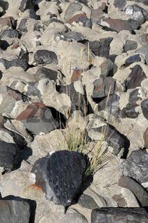 Strandhafer zwischen Steinen