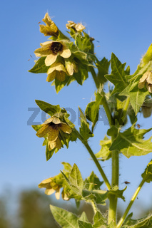 Hyoscyamus toxic plant-narcosis
