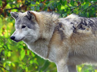 Portrait of a Gray Wolf in it's natural environment