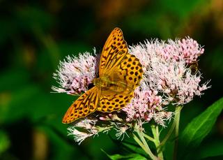Schmetterling, Kaisermantel, Argynnis paphia, butterfly, silver-