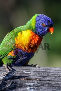 Rainbow Lorikeet in Australien,