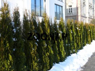 Thuja occidentalis Smaragd, Lebensbaum