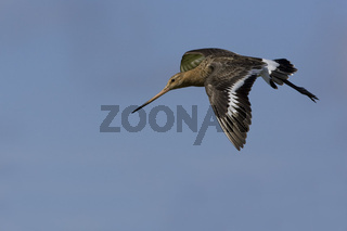 Uferschnepfe, im Flug, Limosa limosa, Black-tailed Godwit, flying