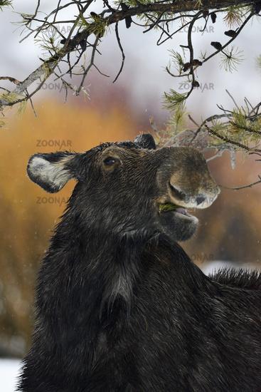 funny... Moose *Alces alces*