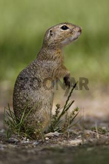 Ziesel, Spermophilus, European ground squirrel