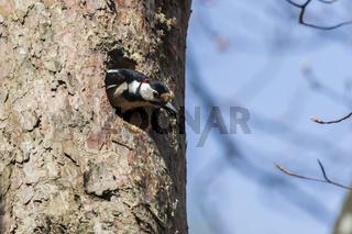 Buntspecht (Dendrocopus major)