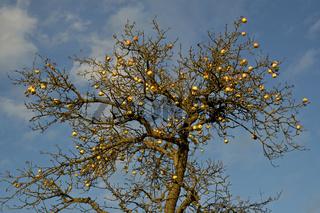 Äpfel am Baum (Malus domestica) Apples on tree
