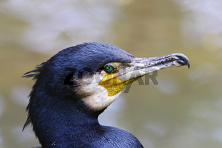 Kormoran, Phalacrocorax carbo, great cormorant