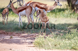 Baby Springbok with the herd.